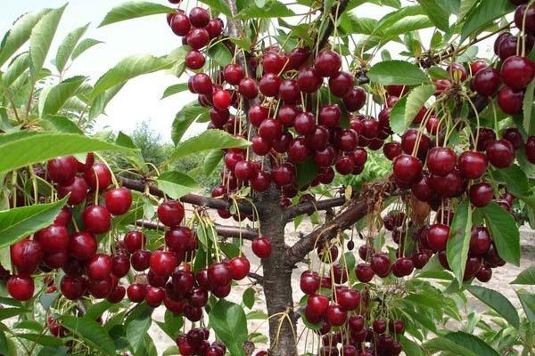 Дерево вишни сорта Встреча