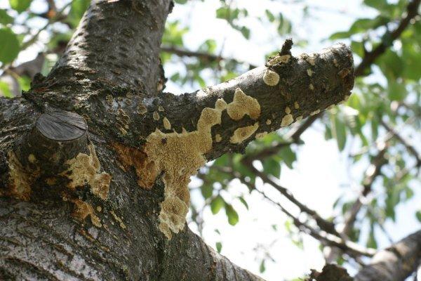 Проявление монилиоза на коре дерева