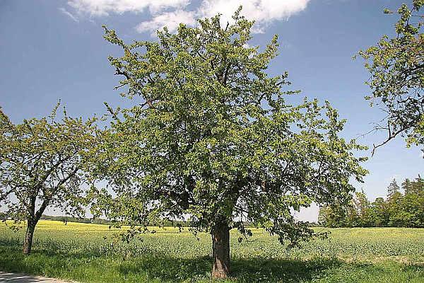 Фото дерева вишни сорта Подбельская
