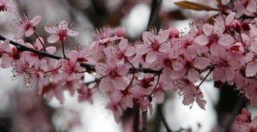 Цветки вишни сорта Подбельская
