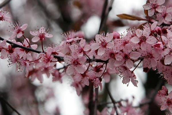 Цветение вишни сорта Подбельская