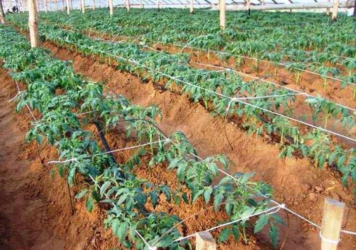 Кусты помидор после окучивания