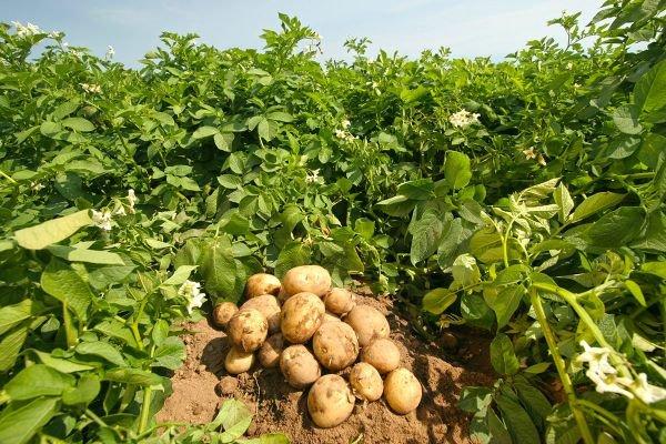 Нельзя сажать кусты клубники после картофеля