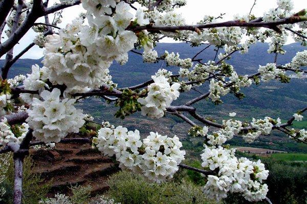 Цветение вишни сорта Надежда