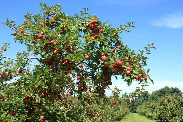 Фото персика с плодами