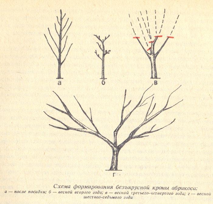 Схема формирования безъярусной кроны абрикоса