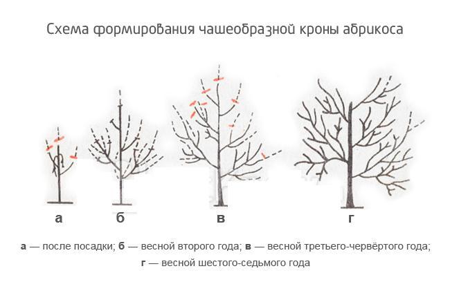 Схема формирования чашеобразной кроны абрикоса