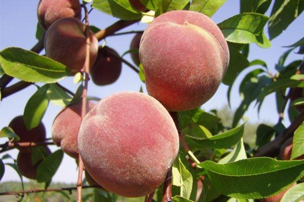 5 персиков на дереве