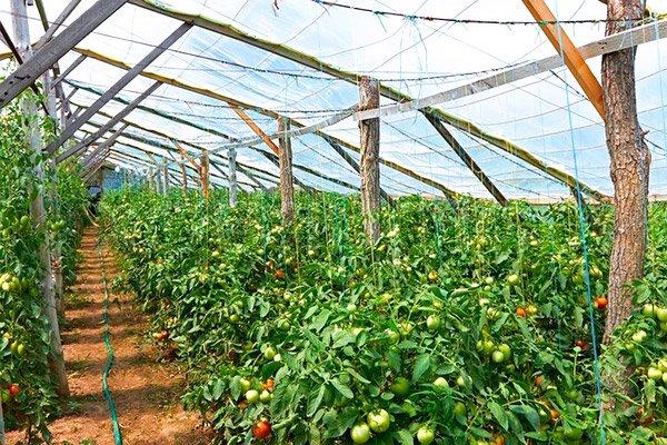 Кусты томатов в теплице
