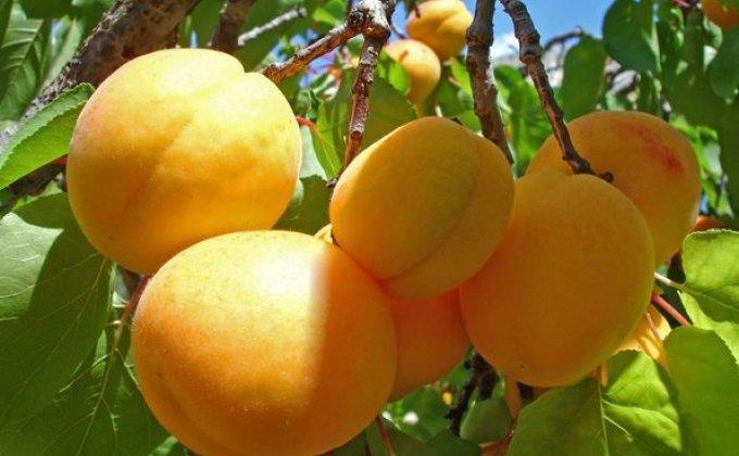 Желтые персики на ветке