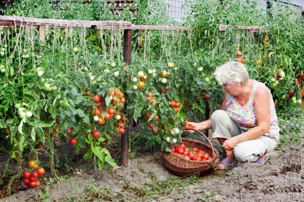 Женщина собирает томаты (помидоры)