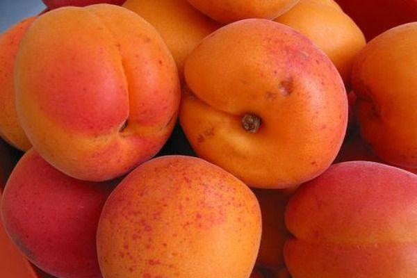 Урожай абрикос сорта Снигирек