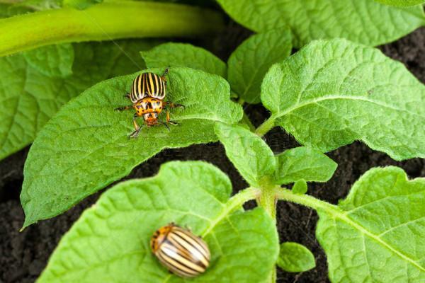 Два колорадских жука на листьях картофеля
