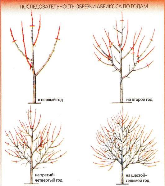 Последовательность обрезки персика по годам