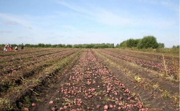 Сбор урожая красного картофеля