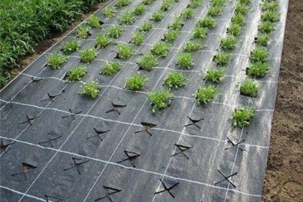 Кусты клубники под агроволокном