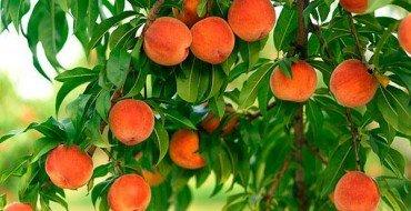 Фото персиков на дереве