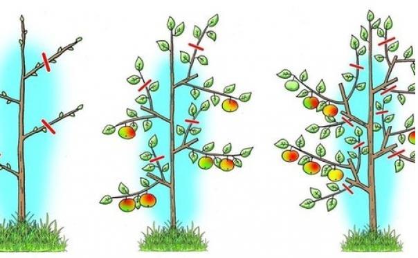 Схема формирования кроны плодовых деревьев
