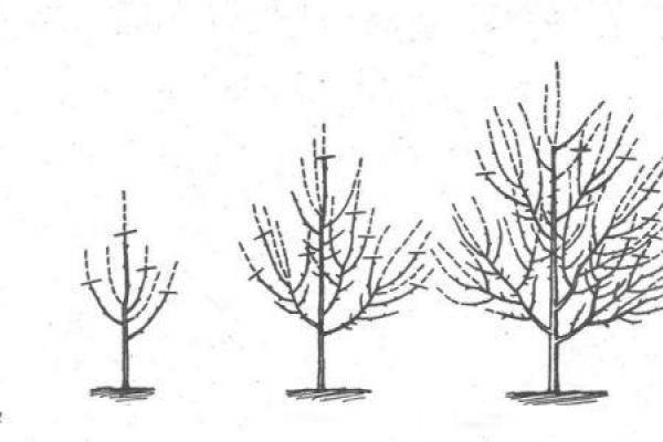 Стандартная схема обрезки персика