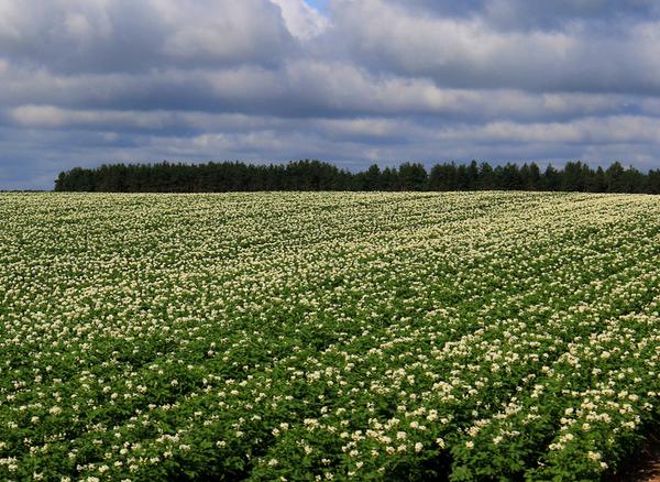 Поле с цветущей картошкой