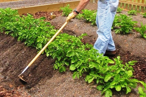 Мужчина окучивает кусты картофеля