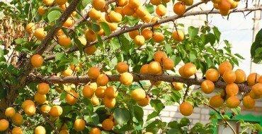 Фото абрикосов на дереве