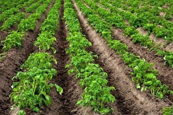 Фото ровных рядков картофеля