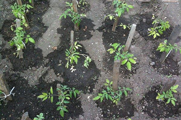 Кусты томатов после внесения жидких удобрений