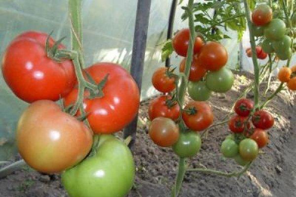 Важно подкармливать томаты, которые растут в теплице
