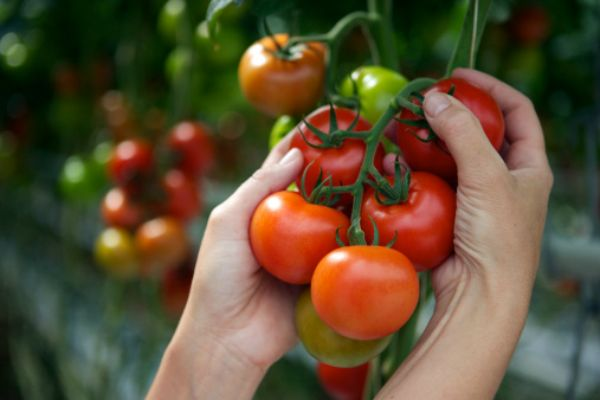 Фото спелых томатов на кусте