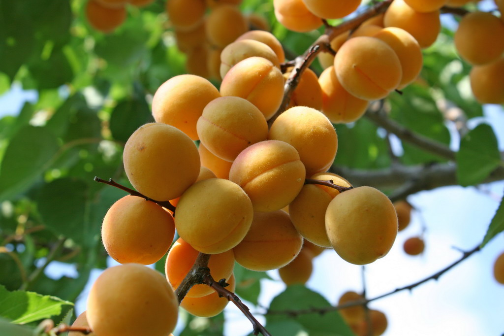 Фото абрикосов на ветке