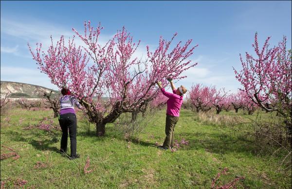 Фото персиковых деревьев весной