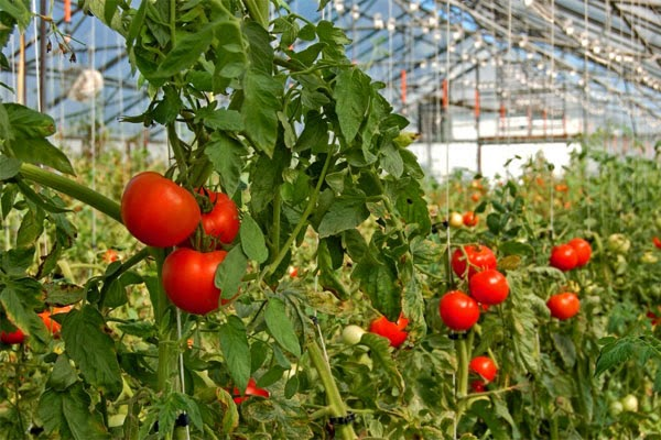 Здоровые томаты в теплице