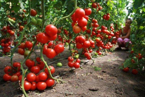 Хороший урожай тепличных помидор