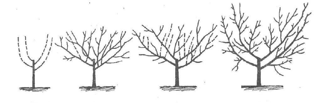 Схема обрезки абрикосового дерева зимой