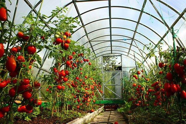 Фото томатов в большой теплице
