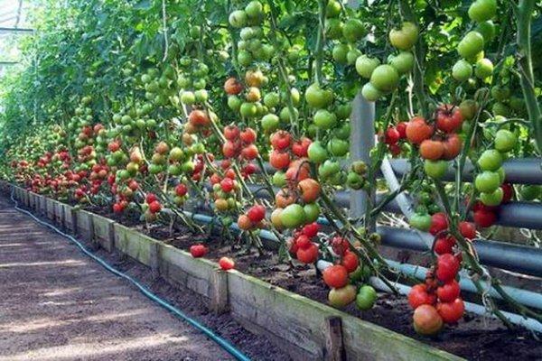 Фото помидор на кустах