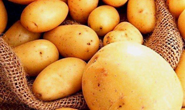 Отличный голландский сорт картофеля Импала