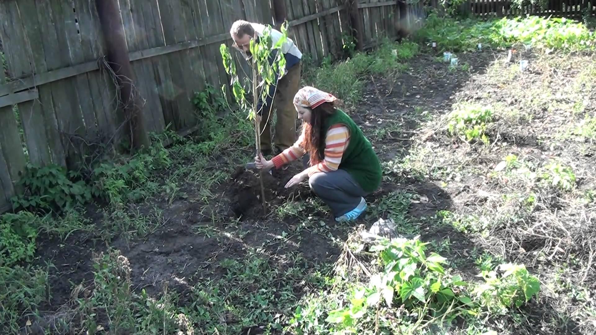 Посадка саженца абрикоса в небольшую яму