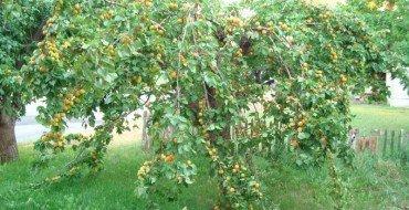 Фото абрикосы с плодами