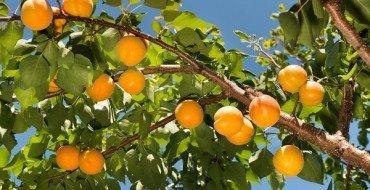 Абрикосы Лель на дереве