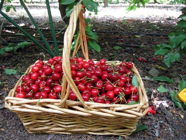 Урожай вишни в корзине
