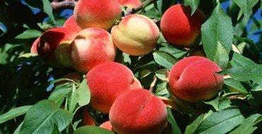 Персики и здоровые листья на дереве