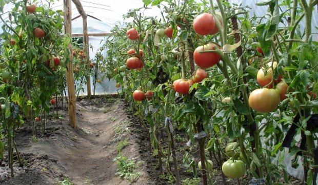 Посадка томатов в теплицу лжа