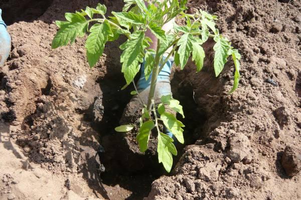 Сажать рассаду томатов нужно в подготовленную землю