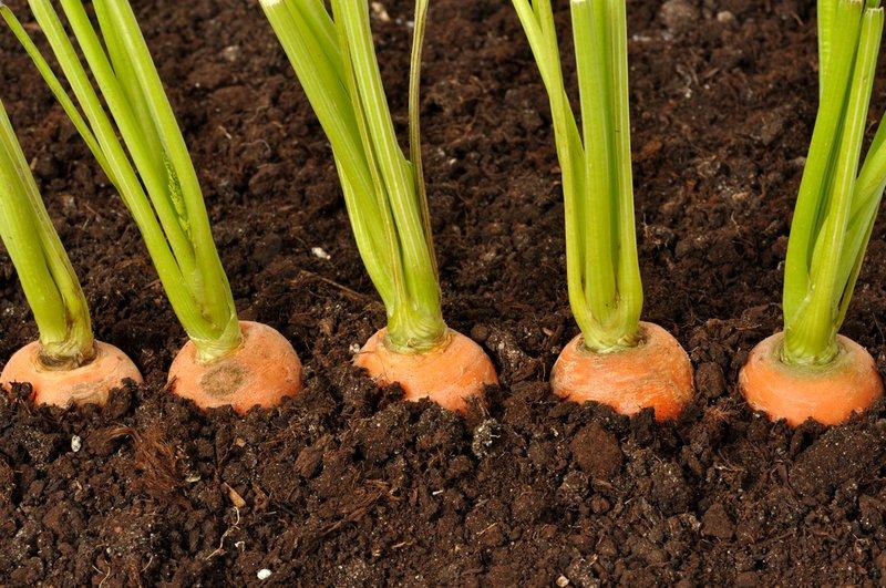 Взошедшая морковь на фото