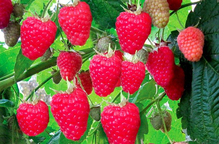 Ярко-алые плоды малины