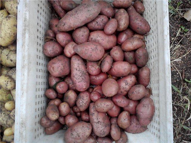 Беллароза картофель в ящике