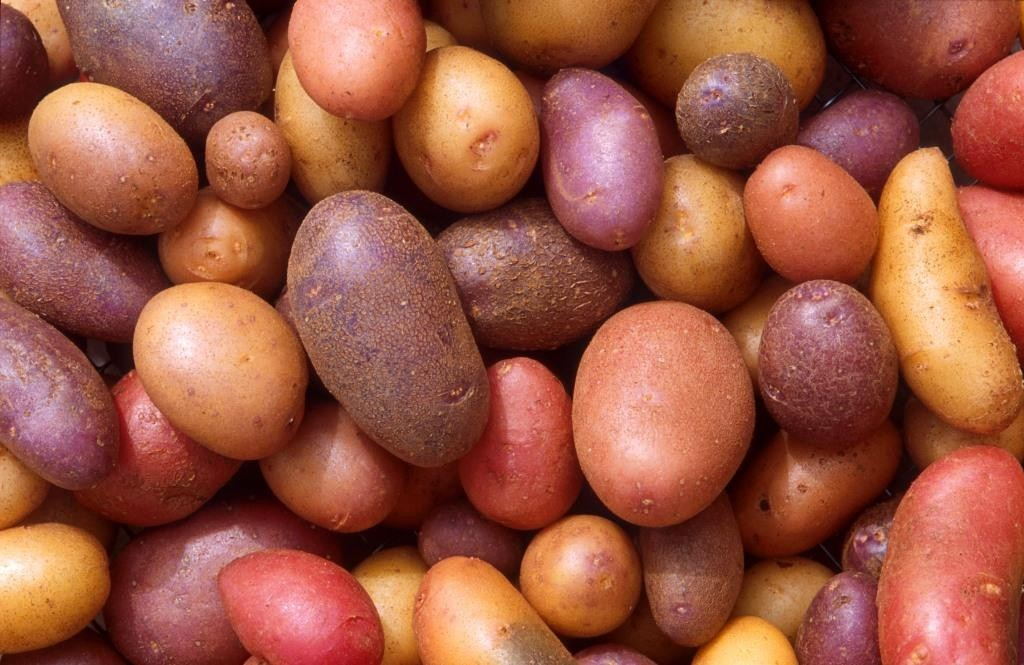 Как выбрать сорта картофеля для средней полосы России