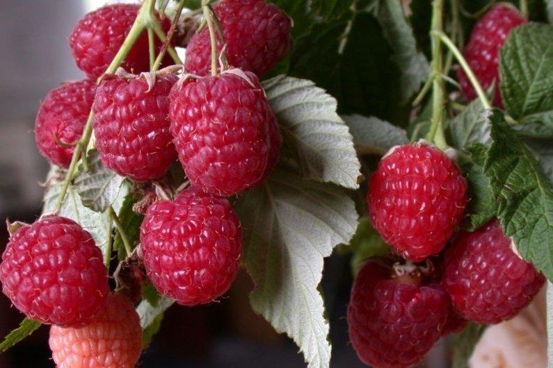 Созревшие ягоды крупным планом